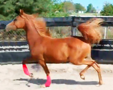 Tropicana Rose SRY (Vegaz x Pheobes Asensation by A Temptation) 2011 Chestnut Filly